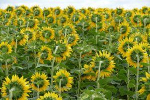 Olej słonecznikowy – właściwości i zastosowanie
